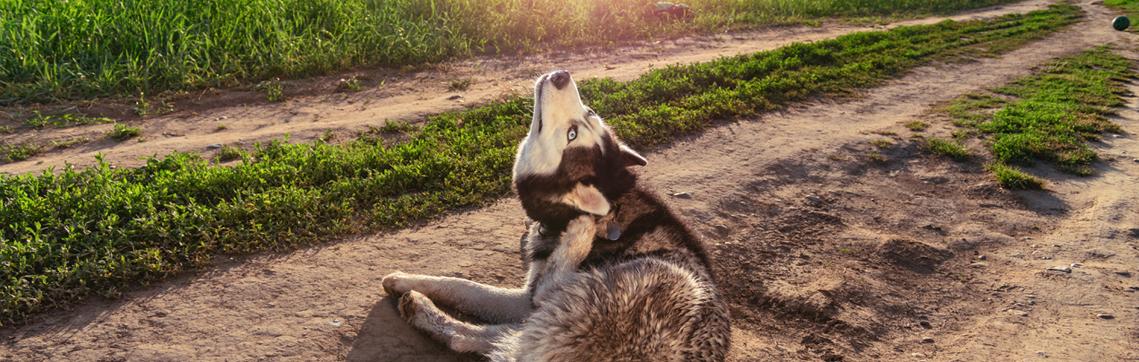 escala picor canino